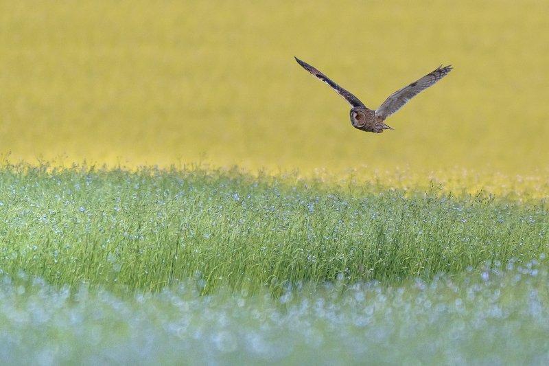 tawny owl; owl; nightbird; bird; nature; wildlife Hunting tawny owlphoto preview