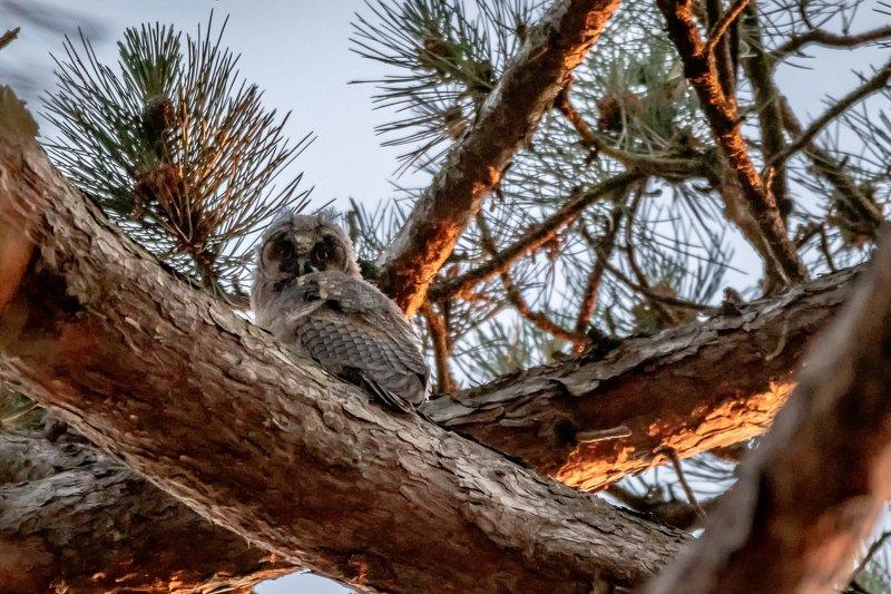 juvenile; owl; tawnyowl; nightbird; nature; bird; raptor; wildlife Juvenile owlphoto preview