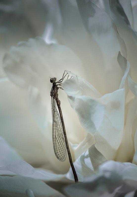 природа, макро, весна, цветы, пион, насекомое, стрекоза, белый Последний рывокphoto preview