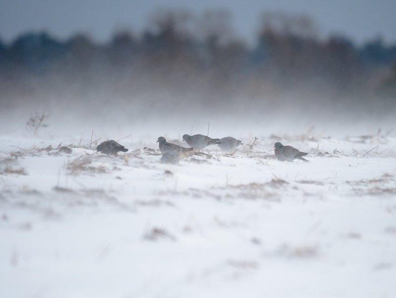 клинтух, стая птиц, дикие голуби, голуби, метель, март, весна, снег, холод, мороз, птицы, погодные условия, суровость В метелиphoto preview