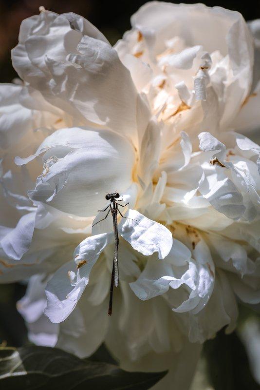 природа, макро, весна, цветы, пион, насекомое, стрекоза, белый Лабиринт садовникаphoto preview