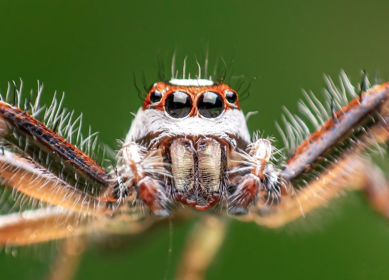 macro wildlife closeup insects spiders Portrait of Two striped jumper malephoto preview