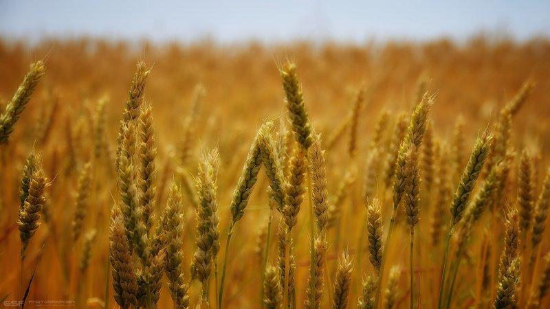 лето пшеница поле хлеб природа Созревает хлеб...photo preview