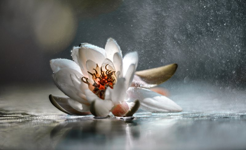 природа, макро, цветы, водяная лилия, капли воды, боке Грёзыphoto preview