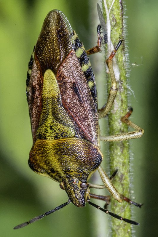 Beerenwanze (Dolycoris baccarum) | (Pentatomidae)photo preview
