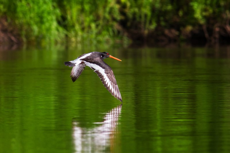 кулик, кулик-сорока, птица, bird, birdwatching Кулик-Сорокаphoto preview
