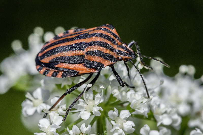 Streifenwanze (Graphosoma lineatum) | (Pentatomidae)photo preview