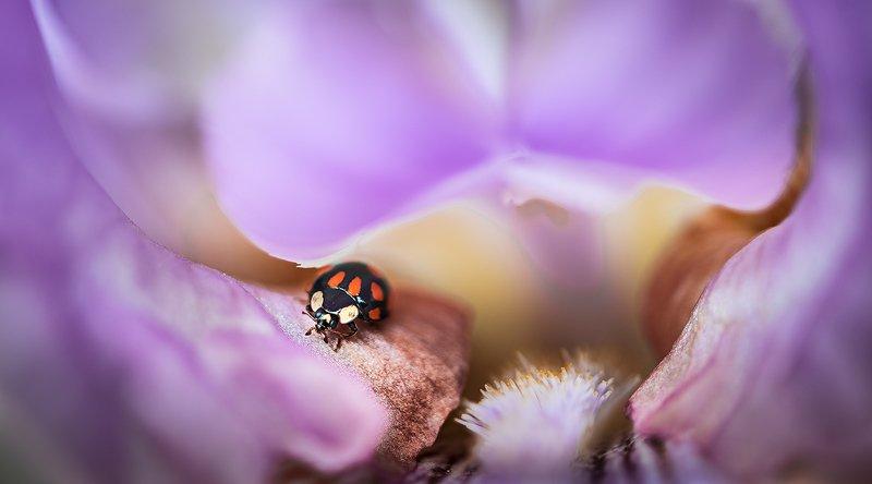 природа, макро, весна, цветы, ирис, насекомое, жук, божья коровка Пурпурная шкатулкаphoto preview