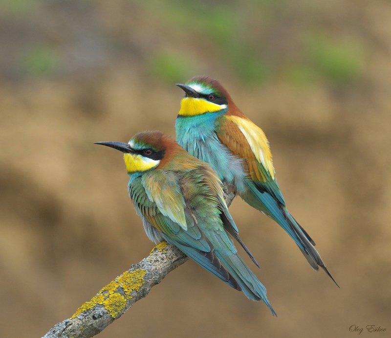 птицы, золотистая щурка Три недели из жизни золотистых щурокphoto preview