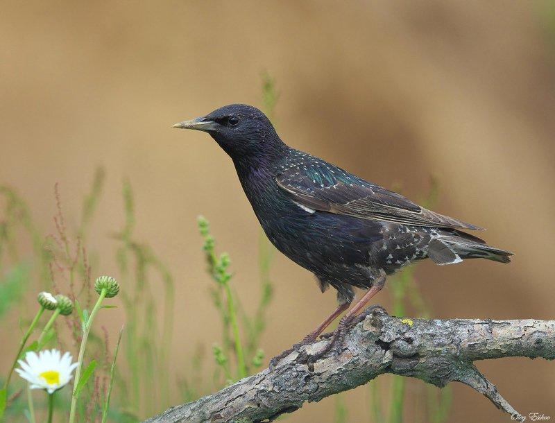 птицы, скворец Скворецphoto preview
