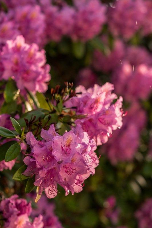 цветы, рододендроны, лето, дождь, природа, flowers, rain, sunny, nature, macro, rhododendron Рододендроны под дождемphoto preview
