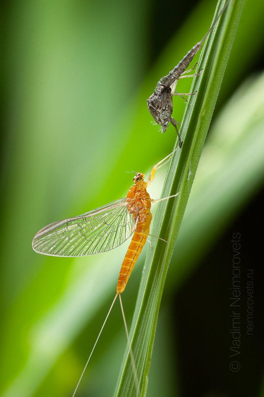 Ephemeroptera, up-winged flies, canadian soldiers, shadflies, fishflies, mayflies, mayfly, fishfly, subimago, imago, molting, molt, exuviae, grass, green, macro, close-up, close up, Gatchina district, Leningrad Region, Russia. Molting of mayfly subimago to the full adult form (imago) / Линька субимаго подёнки в имагоphoto preview