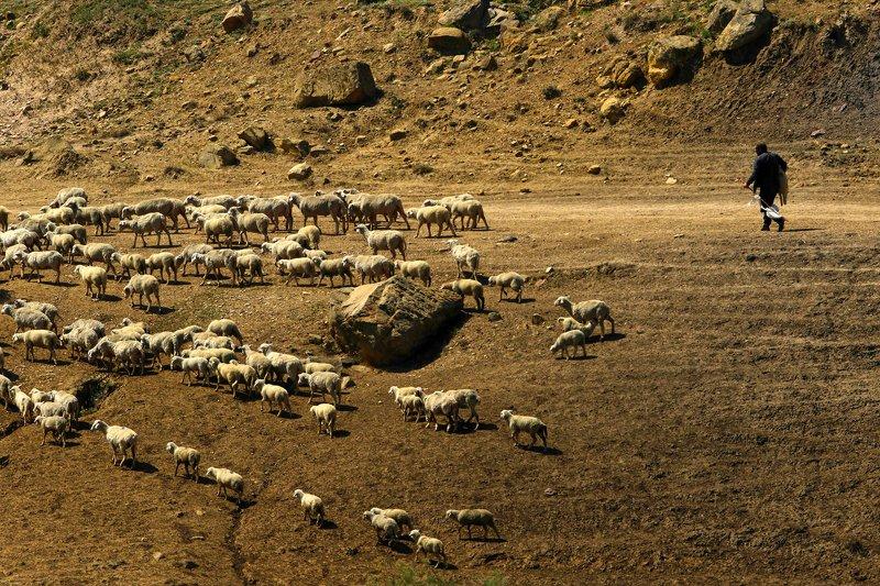 овцы,перегон,горы,пейзаж,горный пейзаж,весна,дагестан,северный кавказ,дагестан. Перегон овец.. фото превью