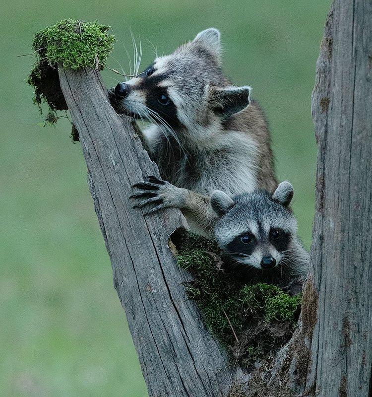 енот обыкновенный, енот-полоскун, raccoon, енот, дикие животные, животные, animals Raccoon & Baby Raccoon - Мама Енотиха и кроха енотикphoto preview
