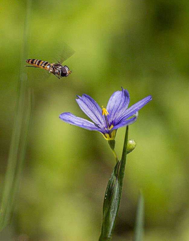 муха журчалка синеглазка цветок Сладкоежкаphoto preview