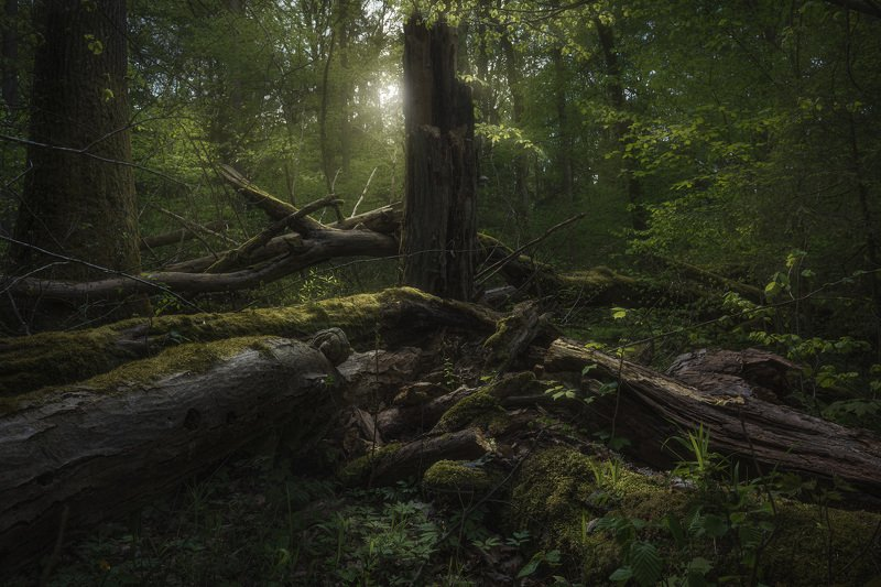 forest trees light mood drama Podlasie Poland Fangorn forest...photo preview