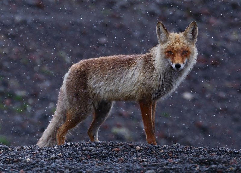 эльбрус животные лиса лис туризм Рыжее обаяниеphoto preview