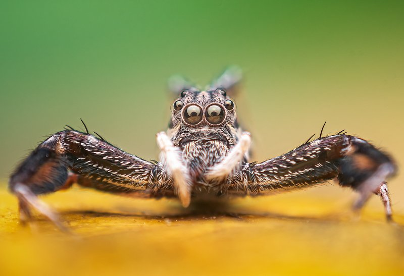 macro wildlife closeup insects Portrait of brettus sp.photo preview