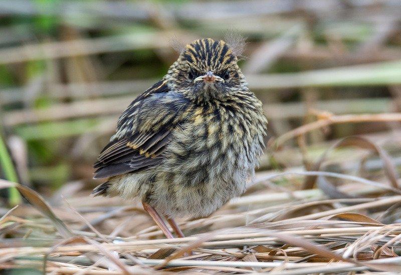 птица птенец варакушка Суровыйphoto preview