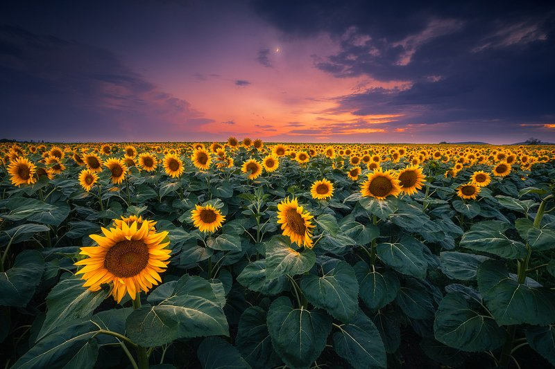 sunflower fileld landscape austria clouds sky moon  sunflower field photo preview