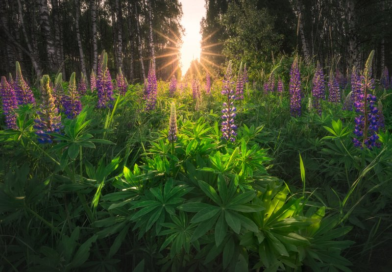 wildflower green sunstar Podlasie Poland trees birch The Lupine spring fest is here...photo preview