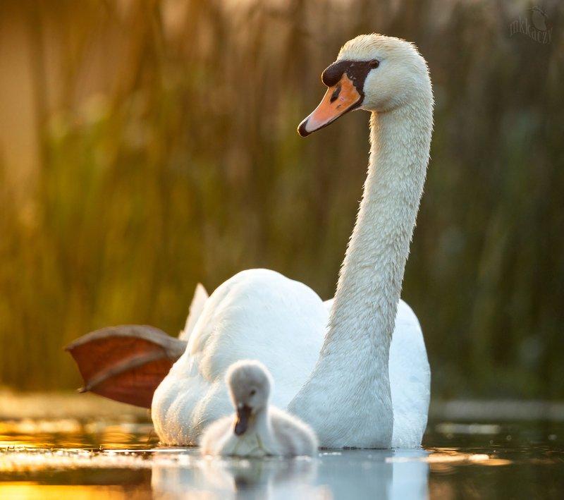 Swanphoto preview