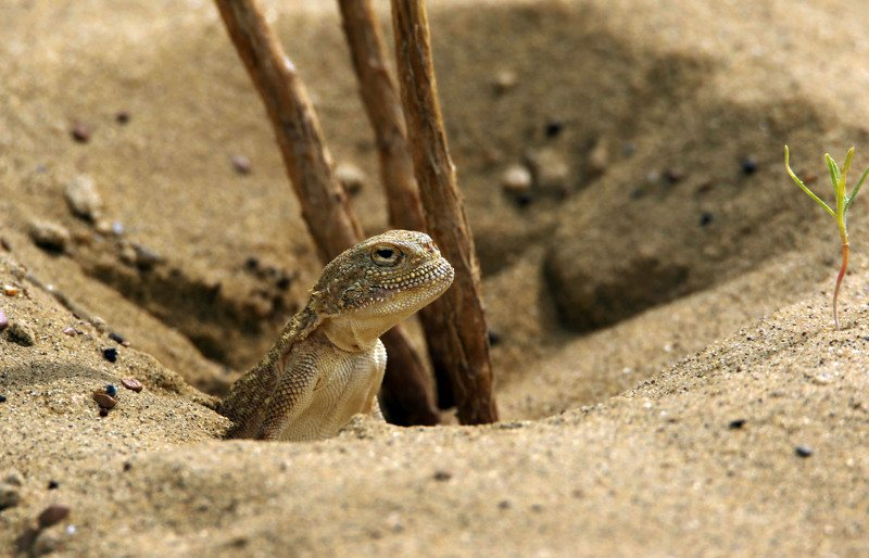 круглоголовка,пресмыкающиеся,ящер,сары кум,жёлтые пески,дагестан, Круглоголовка..photo preview