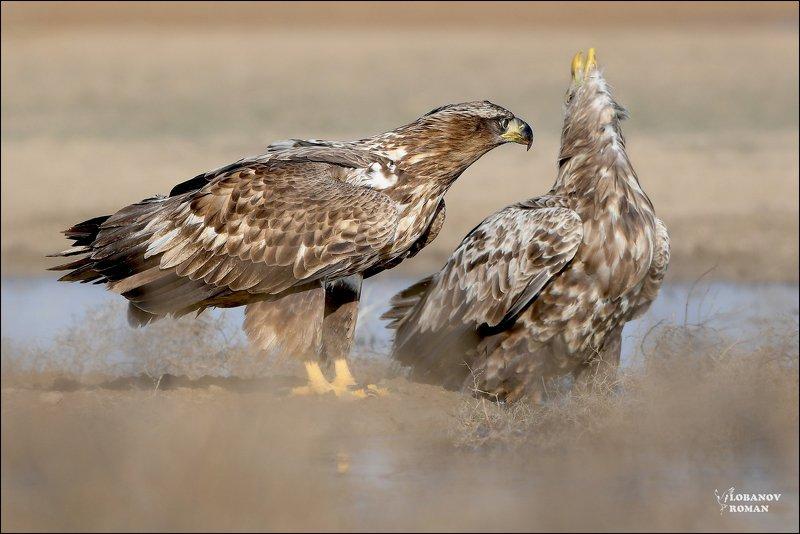 Орлан-белохвост . Заказник «Степной» Лобанов Пересвет photo preview