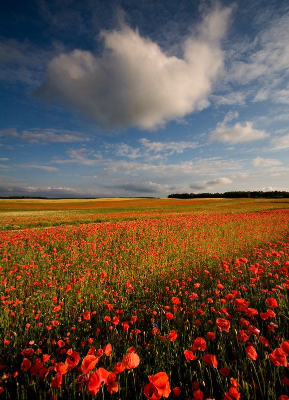 land of poppies...photo preview
