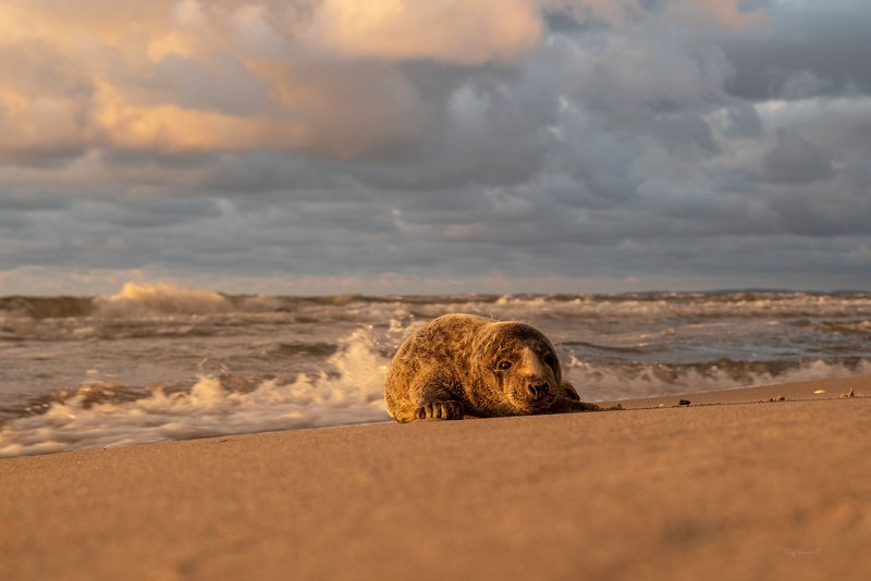 животные, тюлень, море, балтика, балтийск, балтийское море Хороший вечер для выхода на пляжphoto preview