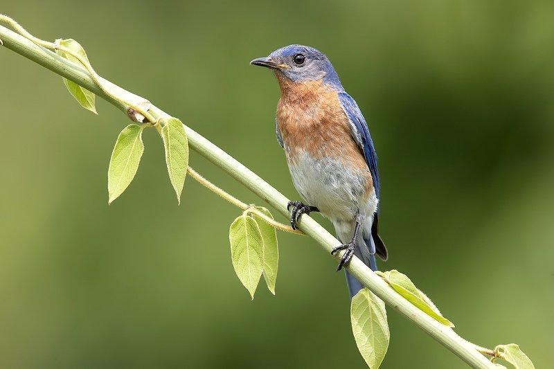 восточная сиалия, eastern bluebird,bluebird Восточная сиалия пара - Eastern Bluebirdphoto preview