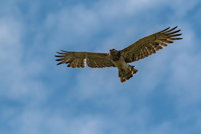 circaète jean-le-blanc; raptor; bird; circaetus gallicus; aude; france; wildlife Short-toed Snake Eaglephoto preview