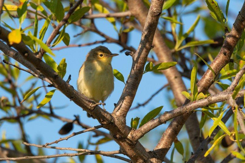 pouillot véloce;phylloscopus collybita; sparrow; bird; aude; france Common Chiffchaffphoto preview