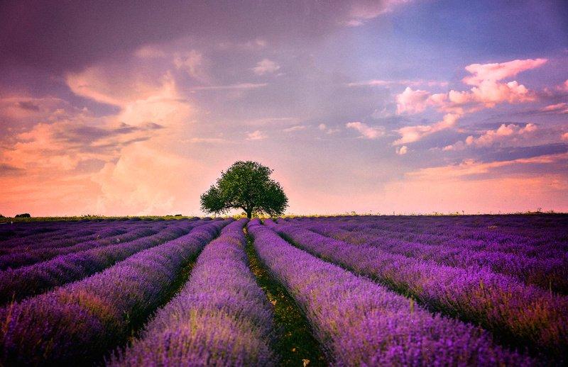 landscape. lavender   Lavender sunsetphoto preview