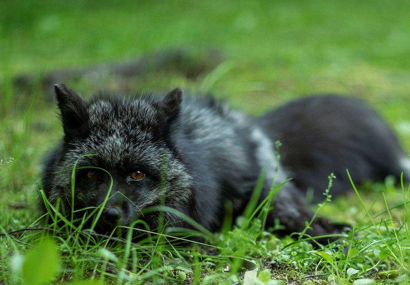 лиса,чернобурая, красотка,плутовка,охота,природа,лето, foxy, black, beautiful, hunter,summer, nature Плутовка на охотеphoto preview