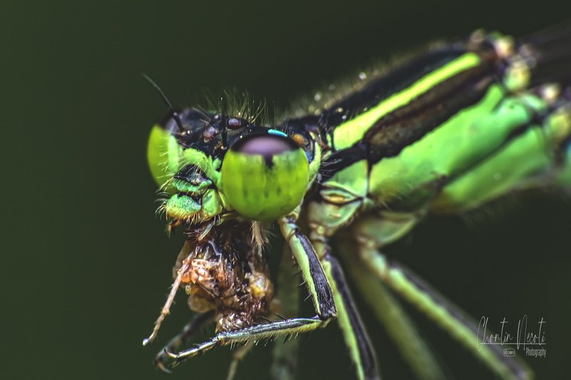dragonfly, fly, grass, eating, green, garden, insect, macro, close up, stock, image, photo, nature, natural, outdoor, fresh Dragonfly in gardenphoto preview