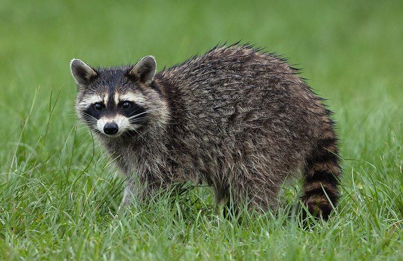 енот обыкновенный, енот-полоскун, raccoon, енот, дикие животные, животные, animals Raccoon - Енот-полоскунphoto preview