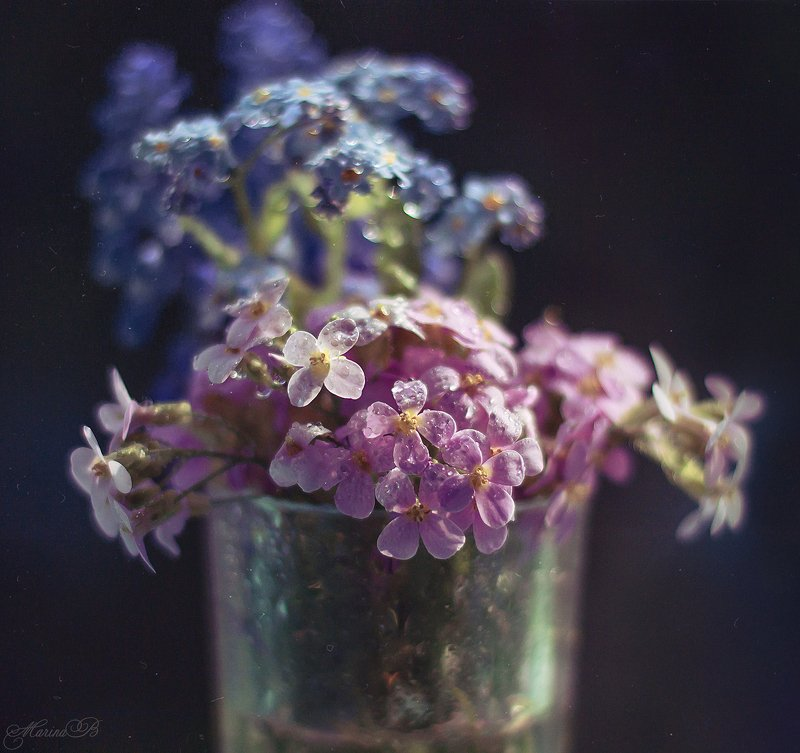 незабудки, арабис, весна, капли Весенний дуэтphoto preview