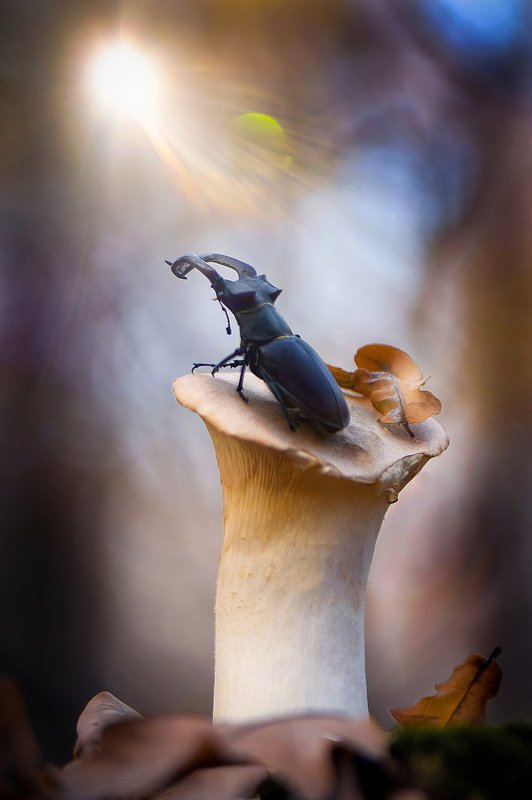 макро, макро фото, жук-олень, жуки, насекомые, вчувствование, макро истории, насекомые, Навстречуphoto preview