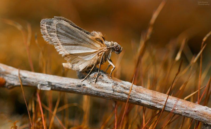 макро, природа, насекомые, бабочки, моль, мотылек, macro, nature, insects, butterflies, moth,  неизвестная мольphoto preview