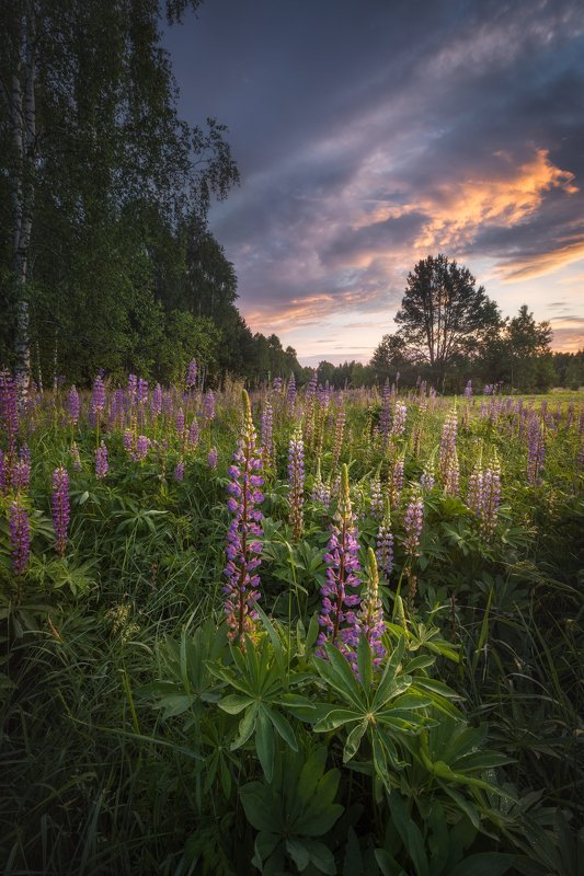 wildflower meadow sunrise dusk sky clouds light Poland Podlasie Lupine dizziness...photo preview
