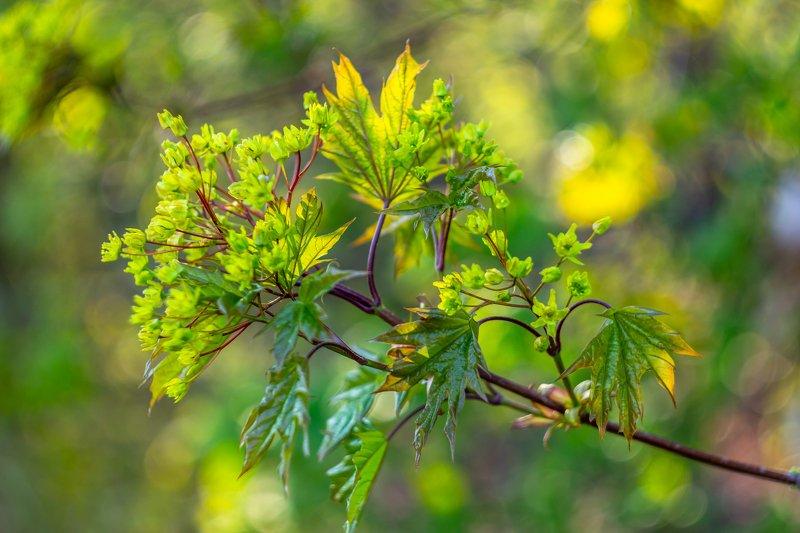 клён, весна, листья, лес photo preview