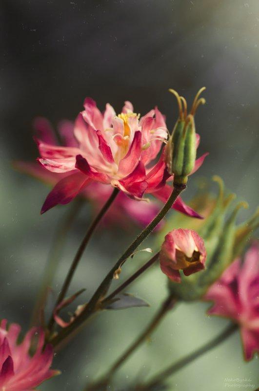 макро, природа, цветы, аквилегия, боке, весна, macro, nature, flowers, aquilegia, bokeh, spring, Эльфийский цветокphoto preview