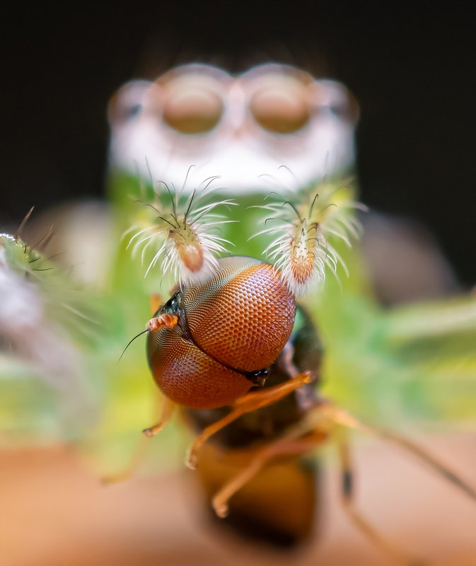 macro wildlife closeup insects Epeus flavobilineatus with a kilphoto preview
