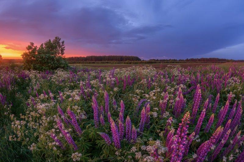лето, цветы, люпины, фиолетовый, луг, небо, вечер, солнце, гроза, облака Фиолетовый райphoto preview