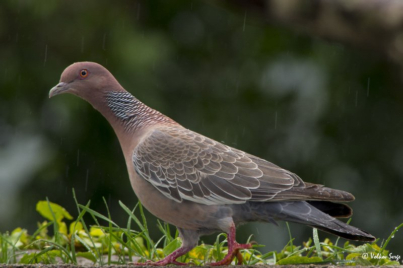 patagioenas picazuro, picazuro pigeon, темнохвостый голубь, бразилия, птицы, birds, Под дождёмphoto preview