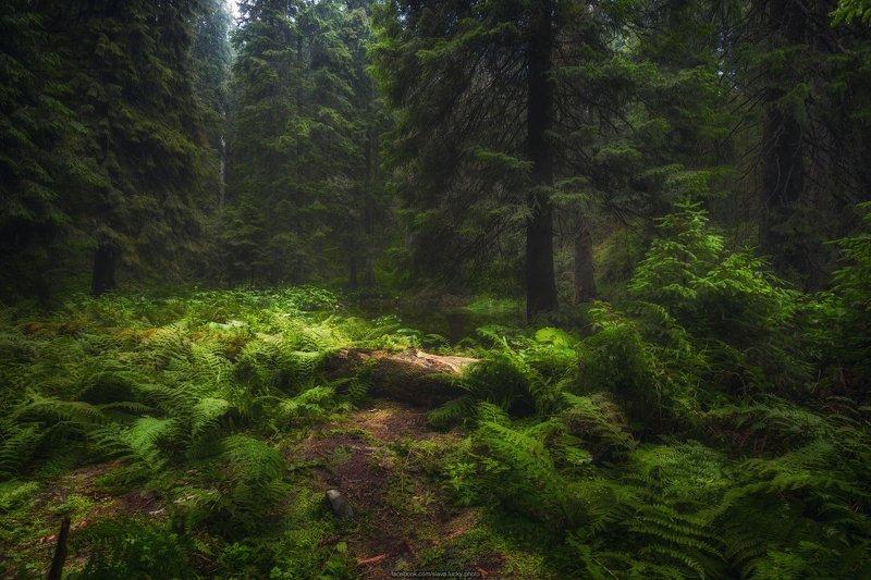 лес, тропа, папоротник, горы, карпаты, природа У горного озераphoto preview