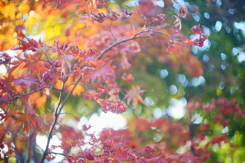 south korea, seoul, autumn, bokeh, maple, close-up, colorful, autumn leaves, Maple and bokehphoto preview
