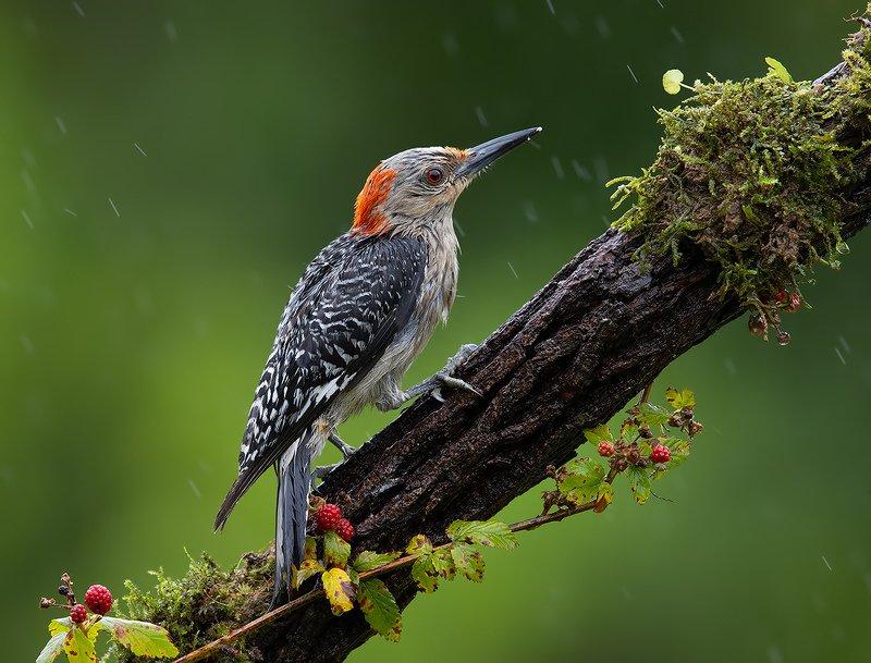 дятел, каролинский меланерпес, red-bellied woodpecker, woodpecker Каролинский меланерпес -Red-bellied Woodpeckerphoto preview