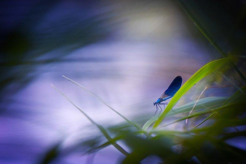 макро, вечер, тишина, природа, вчувствование, жить и видеть, слушая тишину, стрекоза, красотка, nature, macro, dragonfly, insects, silence Погружаясь в вечерphoto preview